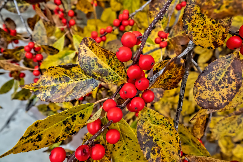 Winterberry in the Japanese Garden
