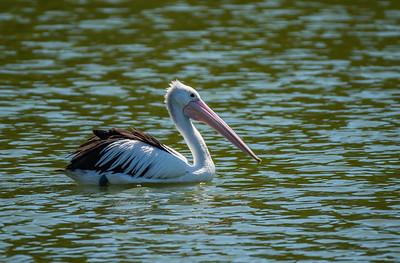 Australian Pelican [Pelecanus conspicillatus]