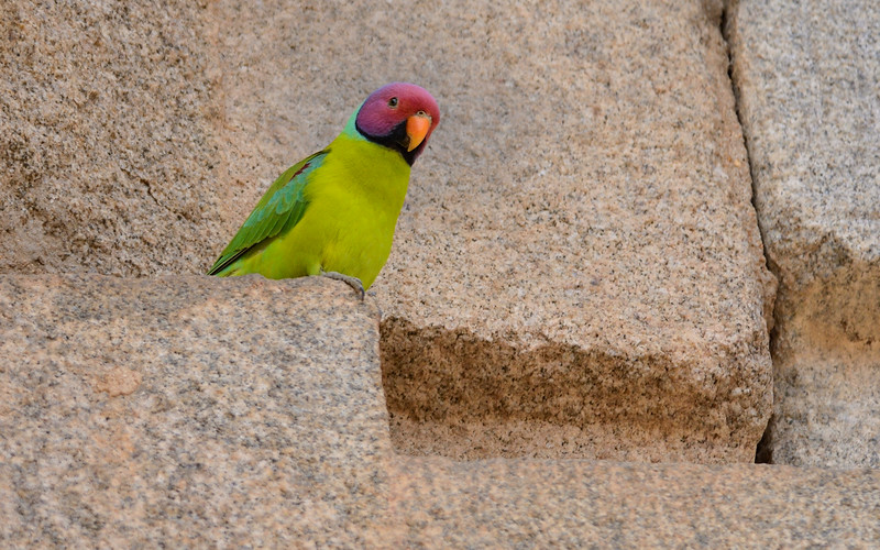 Plum-headed-parakeet-hampi.jpg