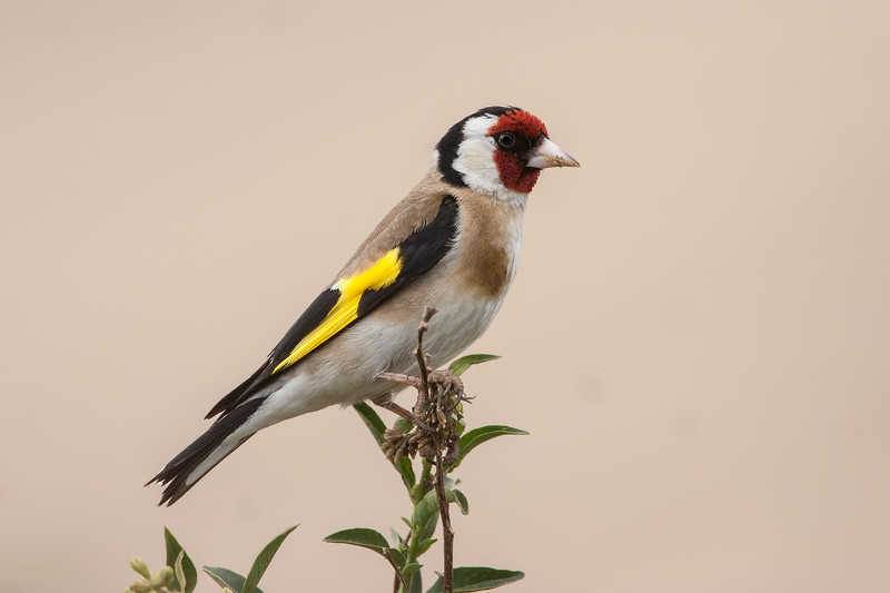 European-Goldfinch-IMG_1141.jpg