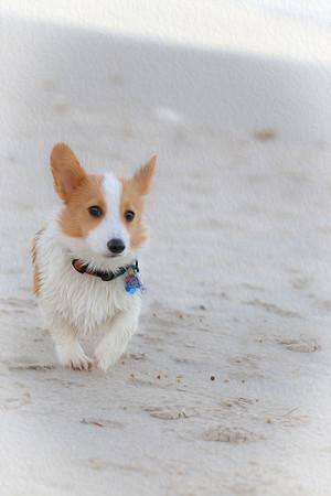 Corgis on the beach 2013
