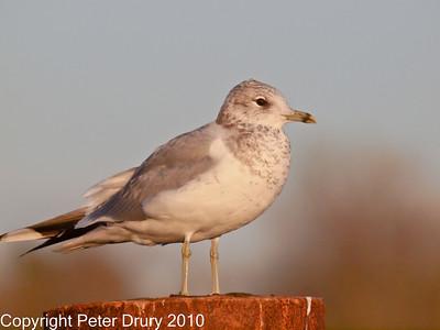 Gull (Laridae)