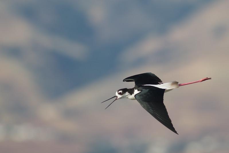 Black-necked Stilt - Alviso, CA, USA