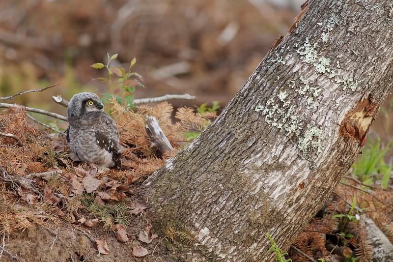 Northern Hawk Owl baby juvenile Owl Ave Sax-Zim Bog MN Northern Hawk Owl baby juvenile Owl Avenue Sax-Zim Bog MN IMG_1257.jpg
