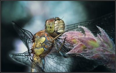 Bruinrode heidelibel/Common Darter