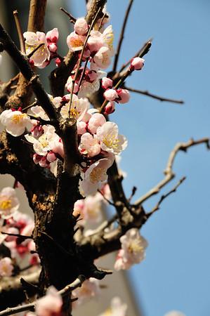 Ikegami Plum Garden & Honmonji Temple