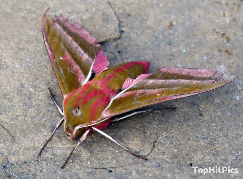 The Elephant Hawk Moth in Little Stretton, Shropshire