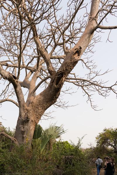 Baobab  - The Gambia 2020.JPG