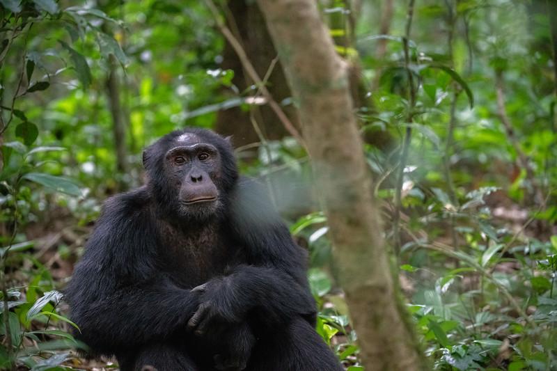 Uganda_T_Chimps-822.jpg