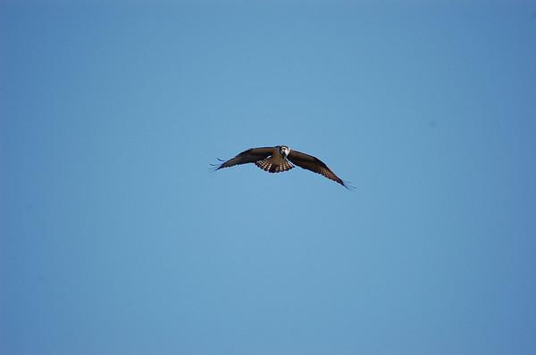 Osprey at Oneal Lake
