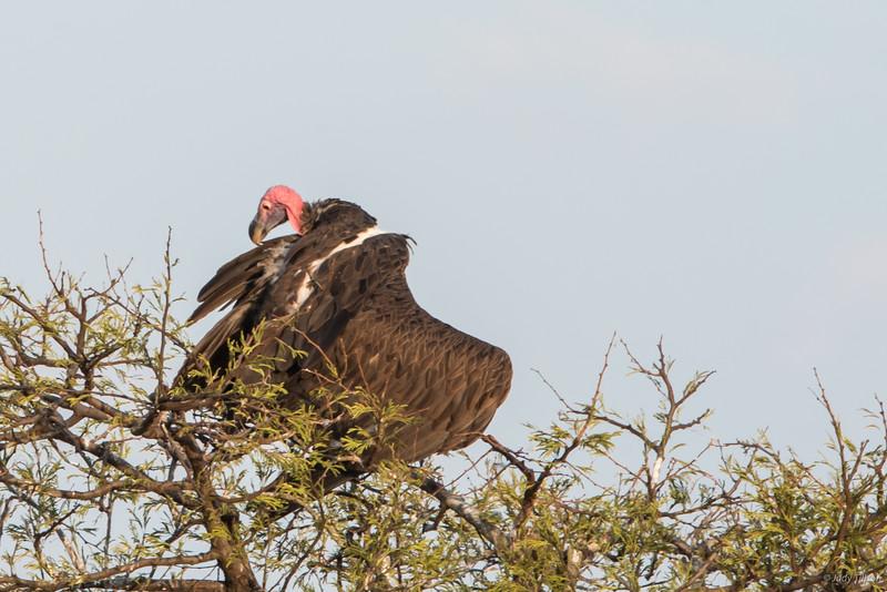 Serengeti National Park vulture-9871.jpg