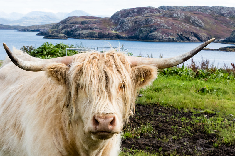 A highland cow poses for a boomer traveler's camera. Click through to read more about this off-the-beaten-path trip in Scotland.