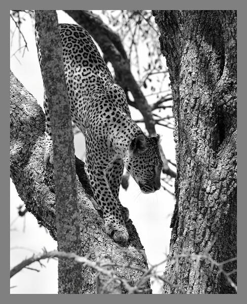 Leopard-climbing-down.jpg