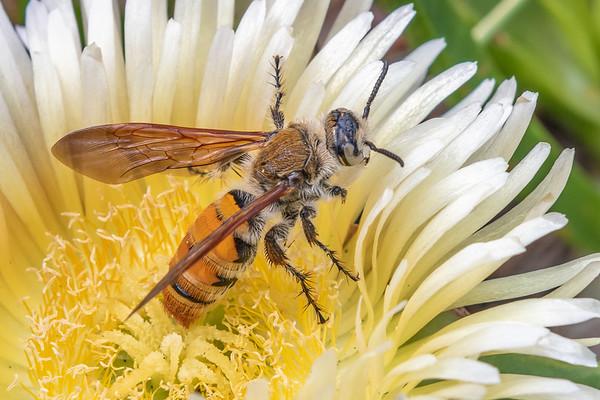 Radumeris tasmaniensis - Yellow flower wasp