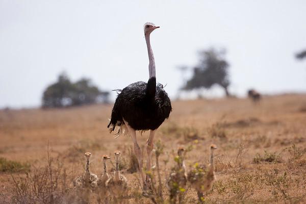 002 Struthionidae - Ostriches