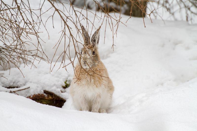 Snowshoe Hare Warren Nelson Memorial Bog Sax-Zim Bog MNIMG_0752.jpg