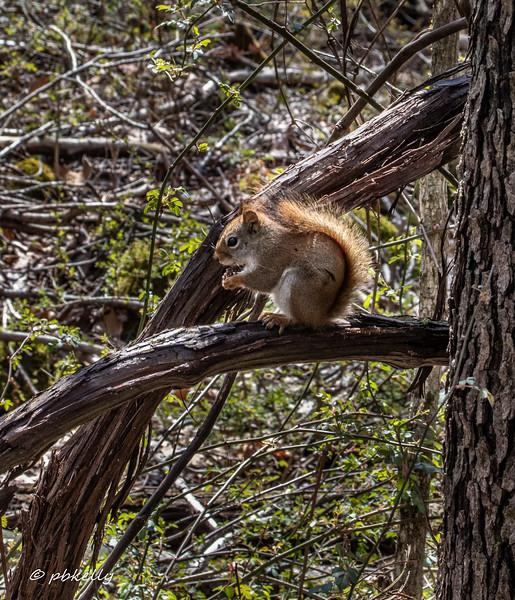 squirrel 041820.jpg