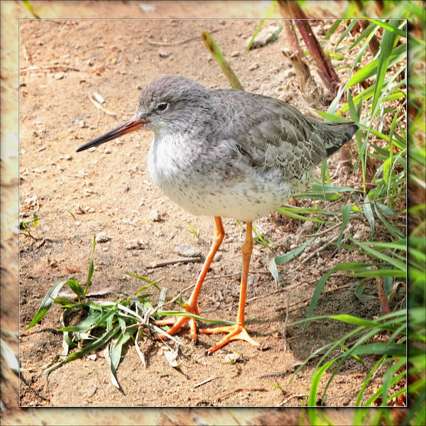 Redshank