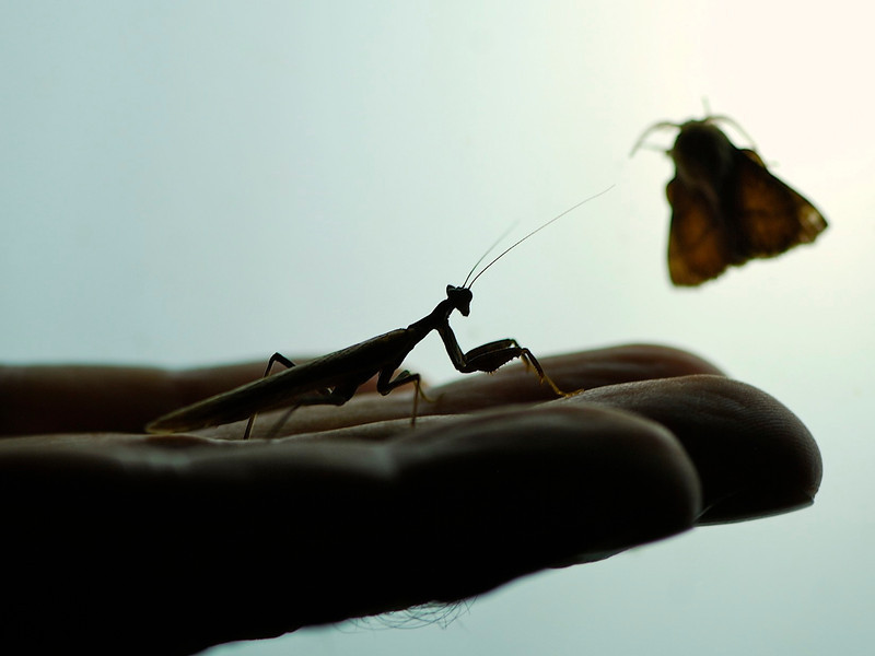 Praying Mantis watching Moth on the hand of a guide, Camargue South of France 2009 ak