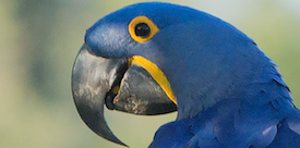 Hyacinth Macaw in Brazil with FIELD GUIDES BIRDING TOURS