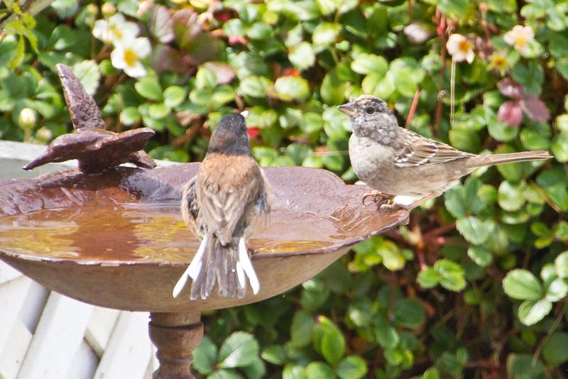 Backyard_Birds-Mar2012-46.jpg