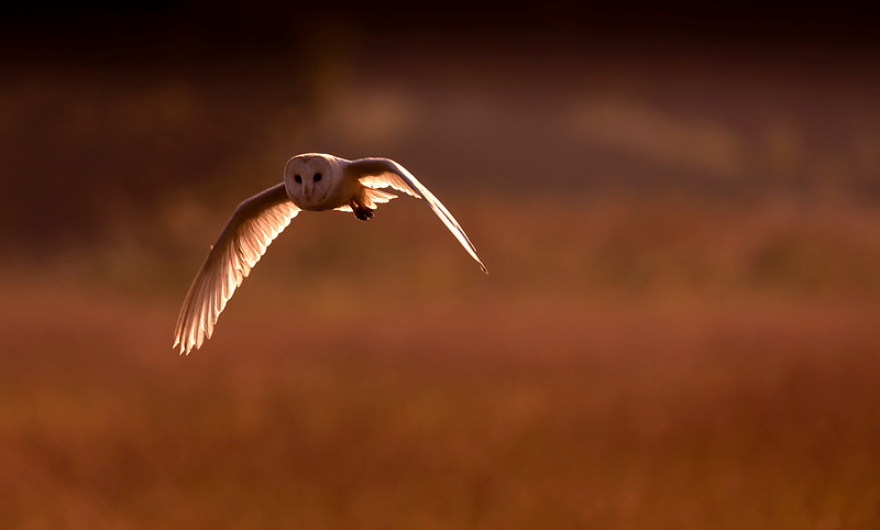 Barn Owl at sunset 2.jpg