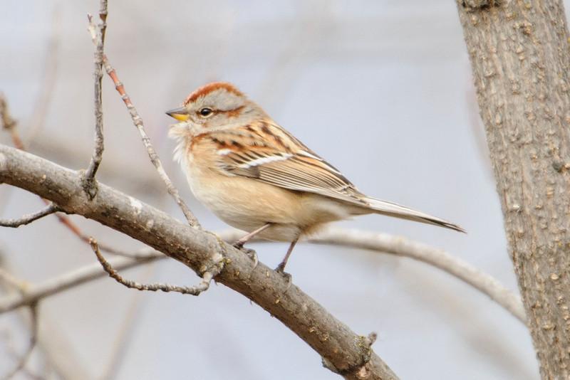 Sparrow - American Tree - Bovey, MN