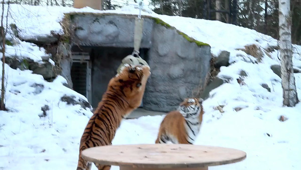 01/13 TIGER FIRE HOSE ENRICHMENT
