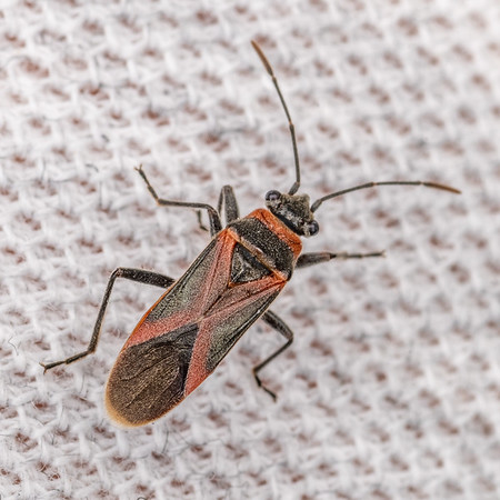 Arocatus rusticus - Swan plant seed bug