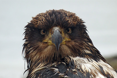 DAY 98 - April 8, 2011 - Wet Immature Bald Eagle Named Phil Cynthia Meyer, Tenakee Springs, Alaska