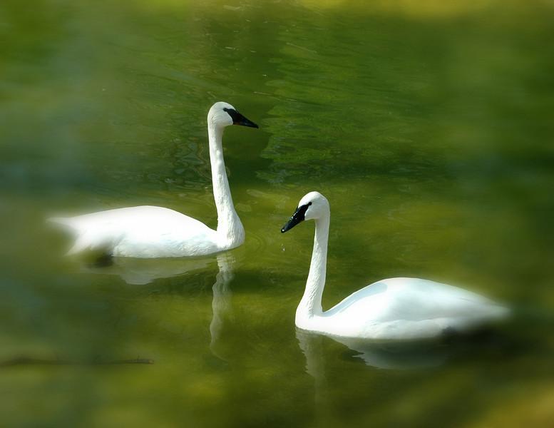 Swans in Green .jpg