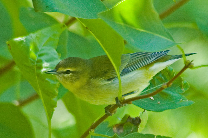 Warbler - Tennessee - Itasca County, MN