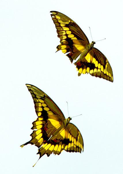 twoyellowbrownbutterfliesinflight7.jpg