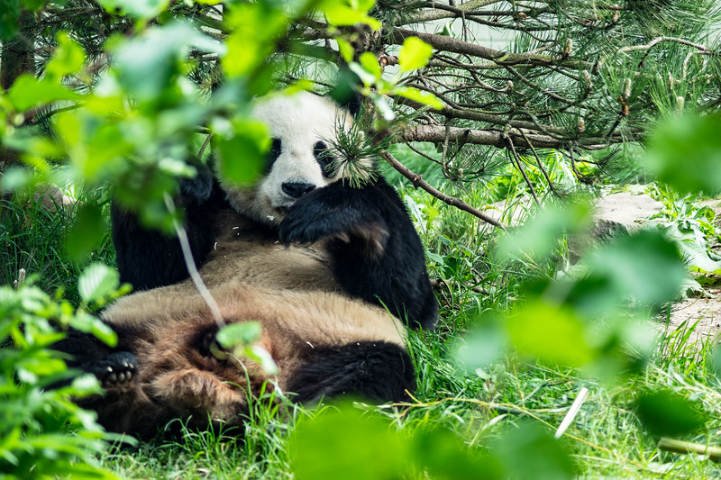 Edinburgh Zoo: Giant Panda 1