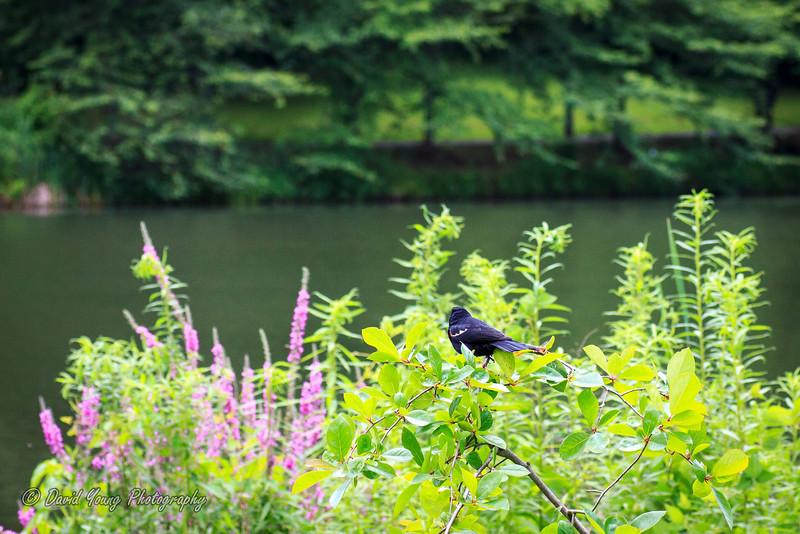 meadowlark-77_July 13, 2013.jpg