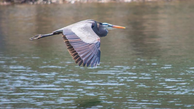 blue heron flying 2 (1 of 1).jpg