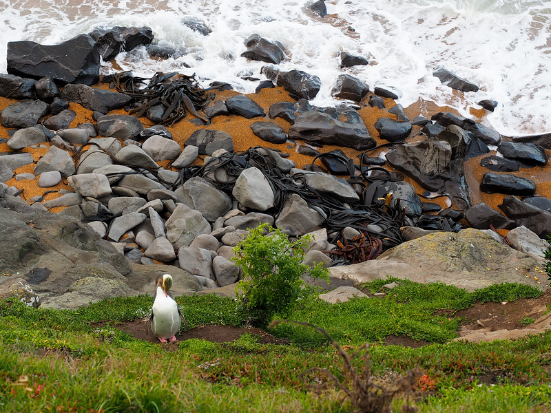 Yellow-eyed penguin at Katiki Point