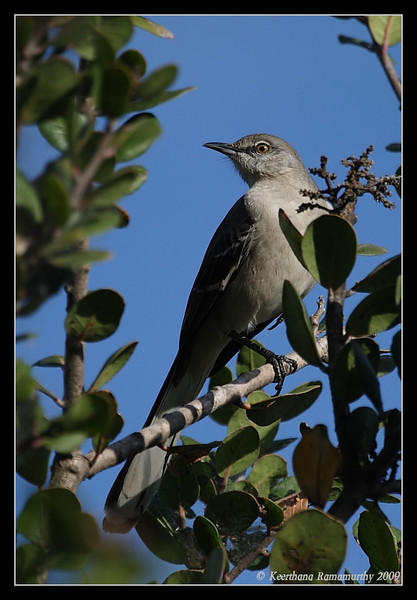 Northern Mockingbird, San Elijo Lagoon, San Elijo Nature Center, San Diego County, California, February 2009