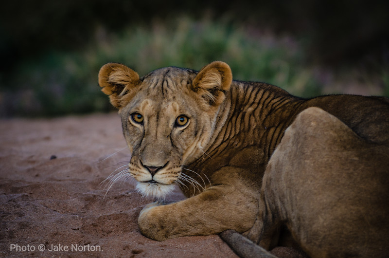 A young lion in Samburu National Reserve