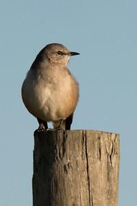 Northern Mockingbird (I think)  ISO = 1600, Aperture = f/11, Shutter = 1/4000, Focal Length = 600mm, Cropped to 2.5 megapixels