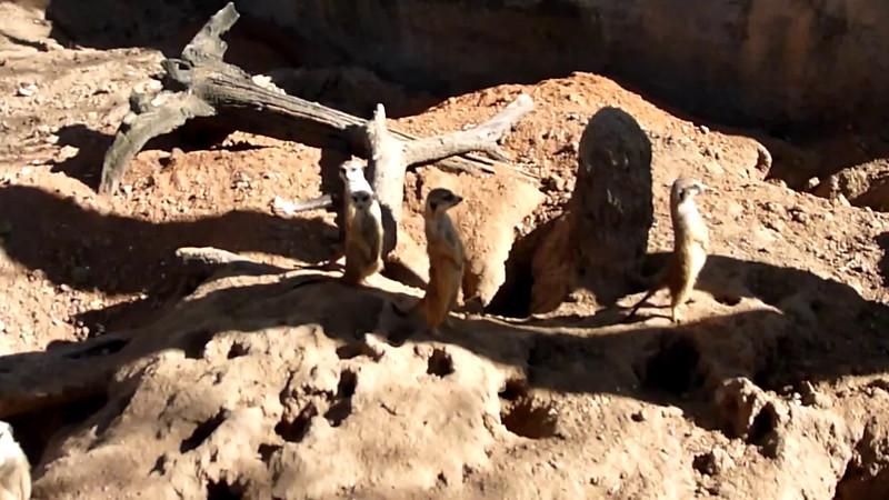 Meercat Barking.mov