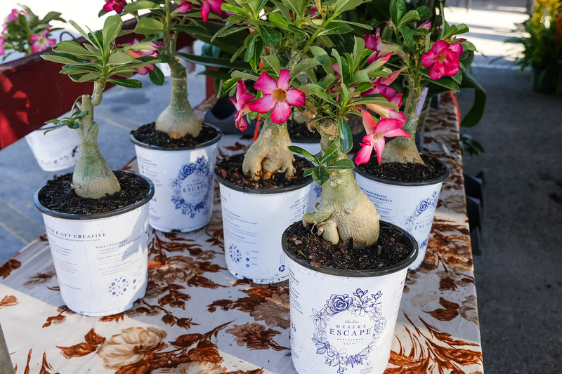 Succulent Cacti