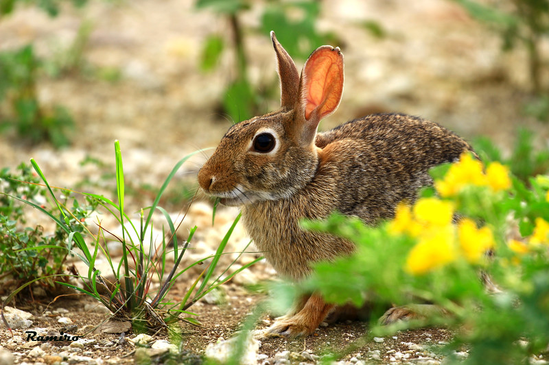 Cottontail 6-25-15 085.jpg