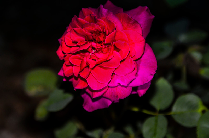 Moonlight rose.tif
