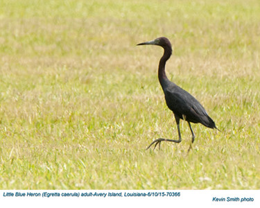 Little Blue Heron A70366.jpg