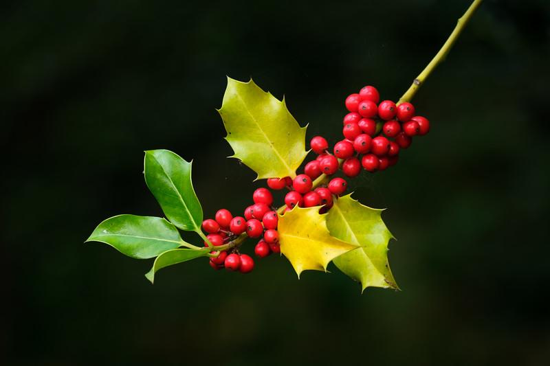 Autumn Holly