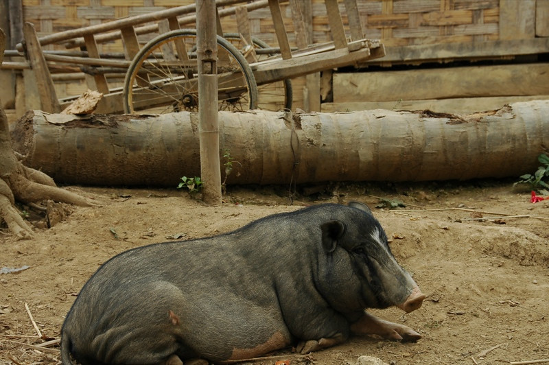 Domestic Hog - Nong Khiaw, Laos