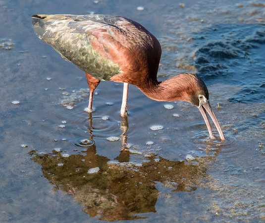 Glossy Ibis, prospecting in the swamp