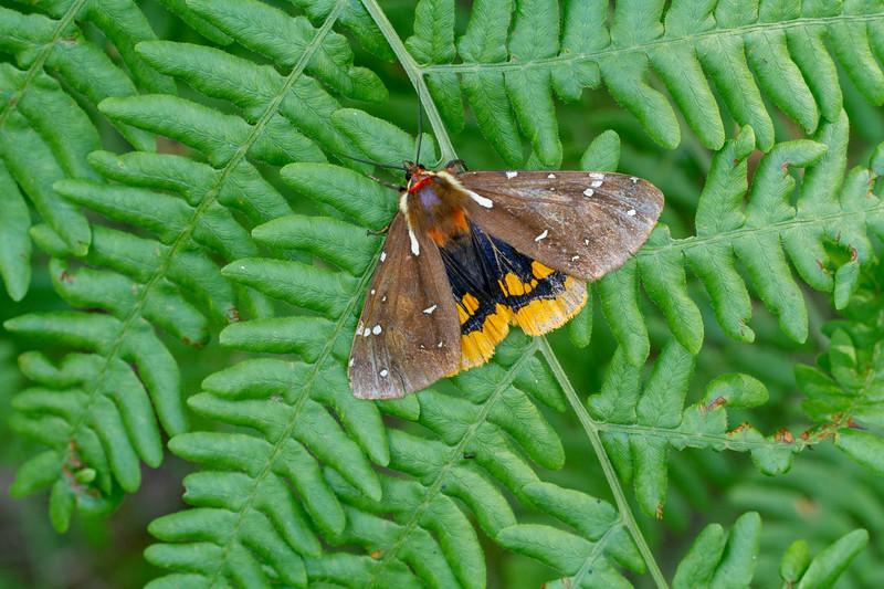 Platarctia parthenos St. Lawrence Tiger Moth 93-0288 8162 Family Erebidae Bog BioBlitz VII July 20 2019 Sax-Zim Bog MN  IMG_8079.jpg