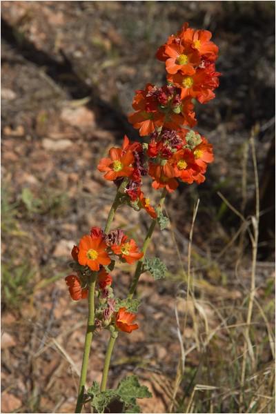 wild orange flowers
